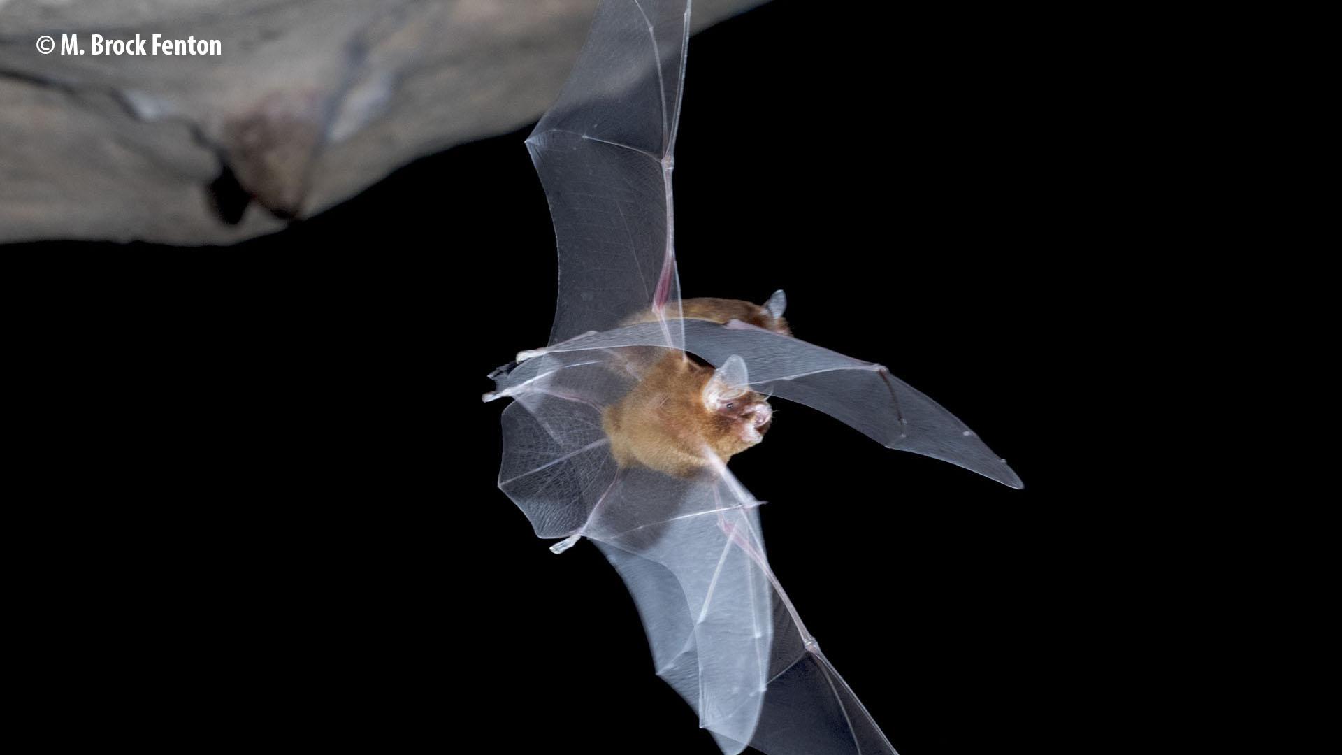 Gervais's funnel-eared bat | La chauve-souris en forme d'entonnoir à oreilles de Gervais
