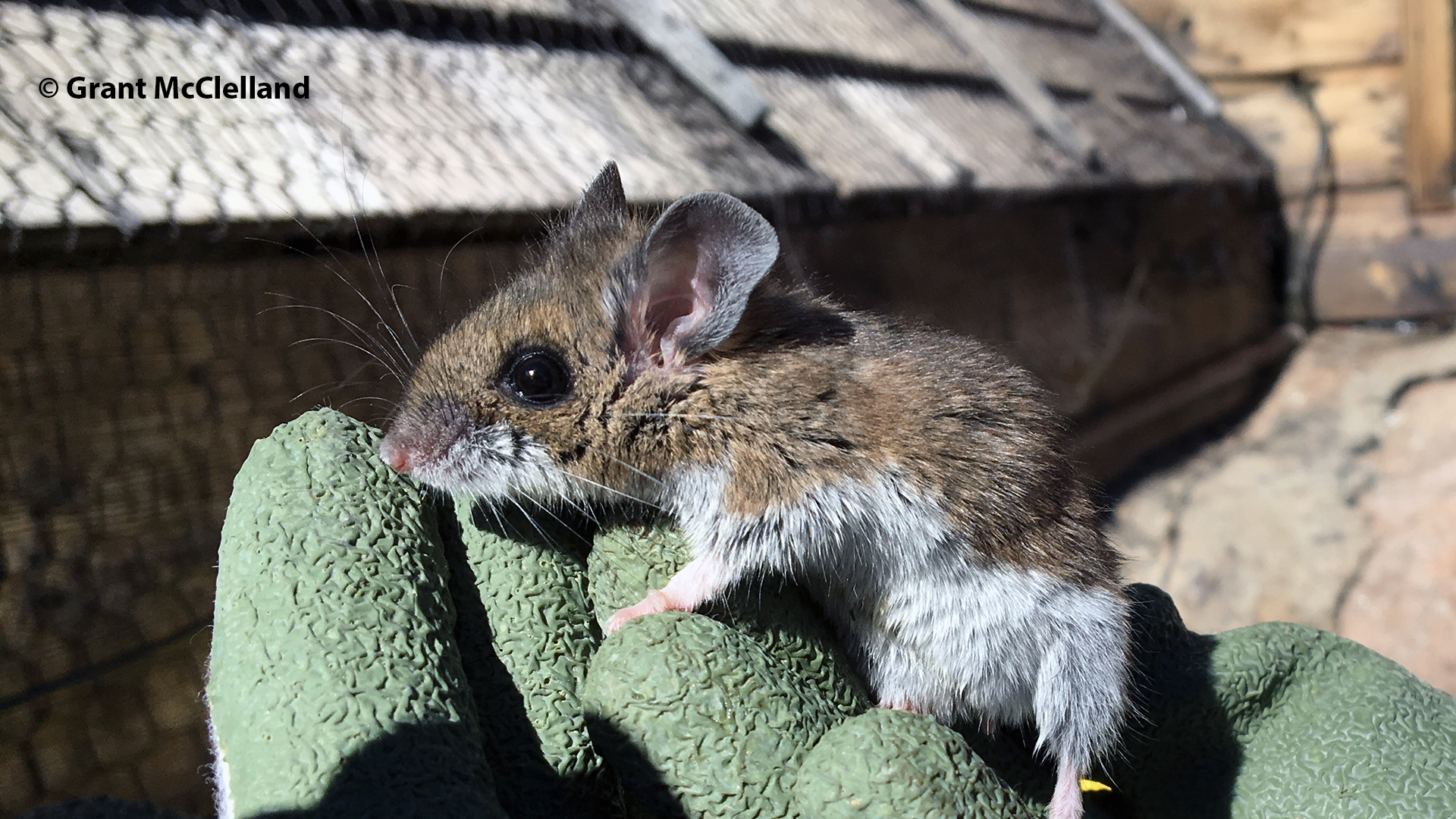 Deer mouse at 4348m | Deer mouse at 4348m