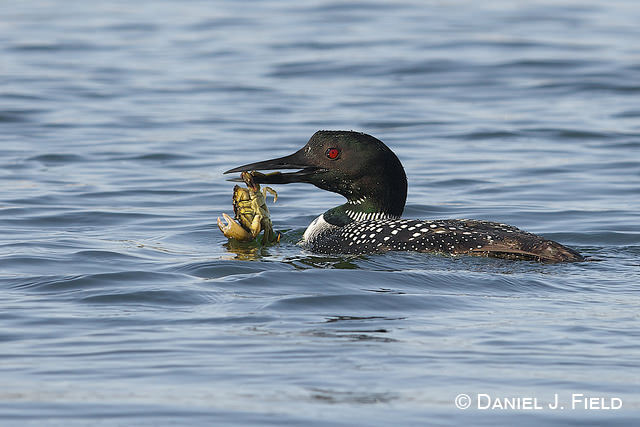 Common Loon (Gavia immer), Long Island Sound, Connecticut