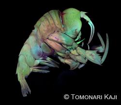 Mâle Phrosina semilunata, isopode pélagique de la mer, collectée forme de la région du Japon. Imaged par microscope confocal de balayage de laser.